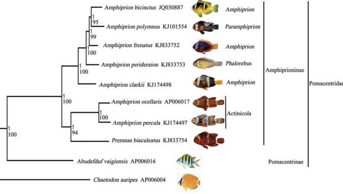 Filogenesi molecolare del pesce pagliaccio