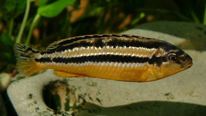 Melanochromis auratus femmina