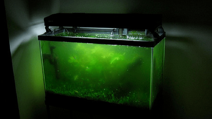 alghe galleggianti o alghe volvox