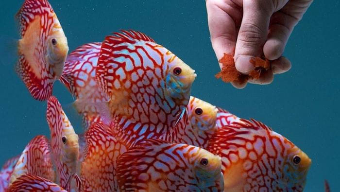 come alimentare i discus in acquario