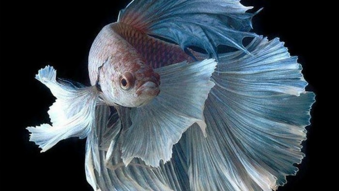 come allevare un betta splendens