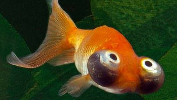 pesce rosso celestial eye