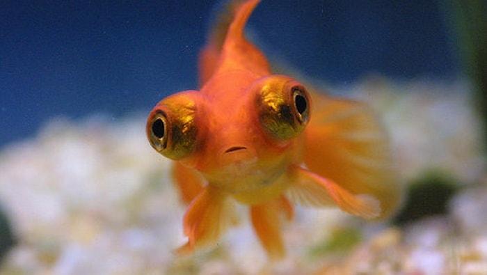 pesce rosso celestial eyes