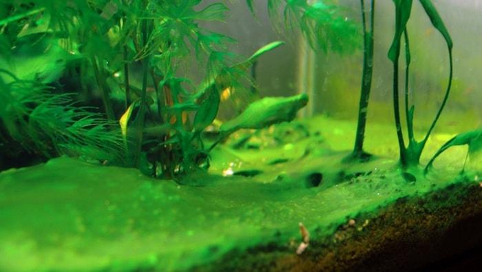 strato di alghe