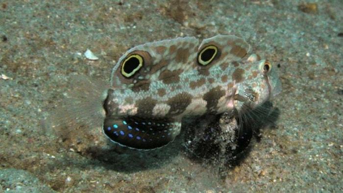 Signigobius biocellatus mimetico