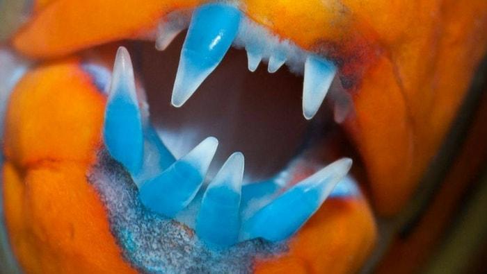 Labride arlecchino - Choerodon fasciatus - dentatura