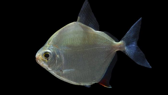 Metynnis argenteus - piranha buono