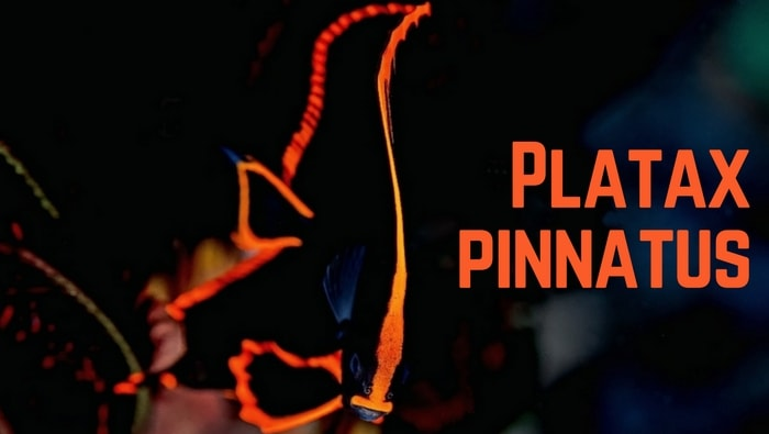 Platax pinnatus