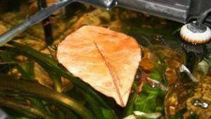 foglie di catappa a galla in acquario