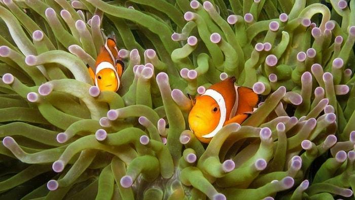 pesci pagliaccio in coppia