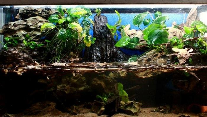 pigne di ontano in acquario