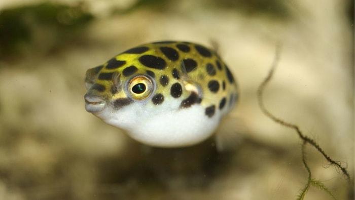 tetraodon nigroviridis - il pesce palla verde