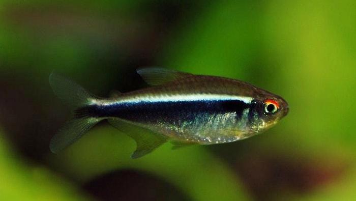 Hyphessobrycon herbertaxelrodi  - pesce neon nero