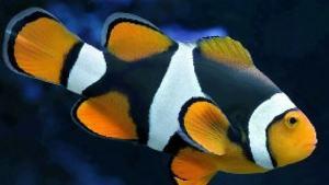 Pesce pagliaccio Percula nero