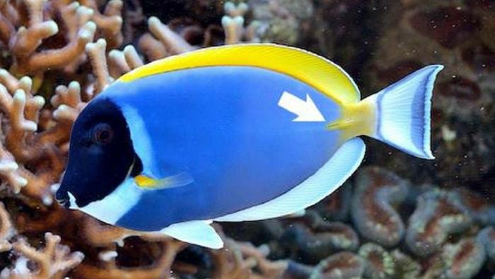 bisturi del pesce chirurgo