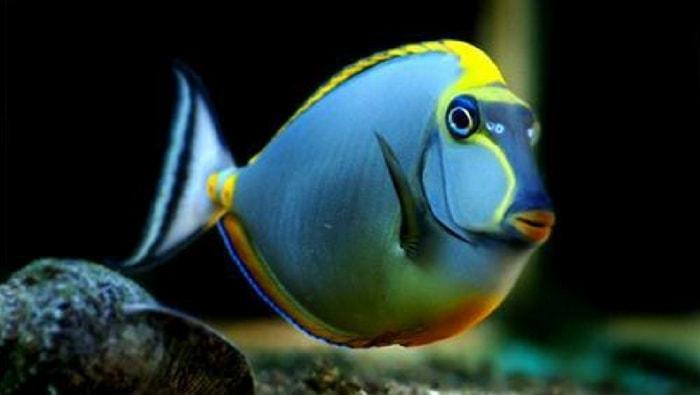 naso pesce chirurgo