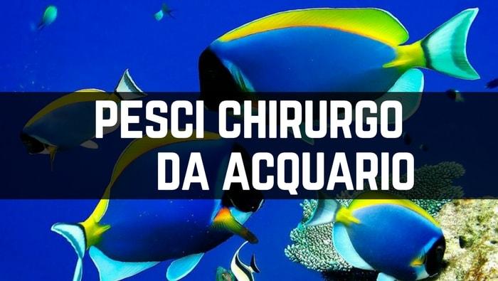 pesci chirurgo acquario