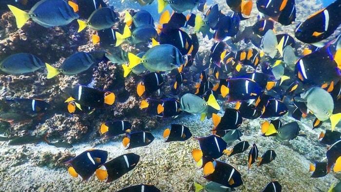 pesci chirurgo habitat