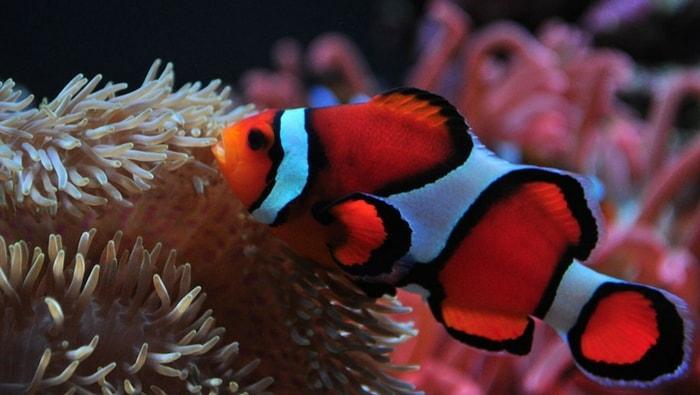 vero pesce pagliaccio percula - Amphiprion percula