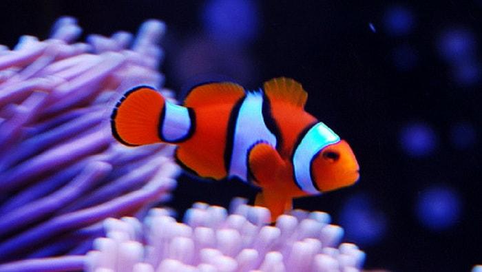 vero pesce pagliaccio percula