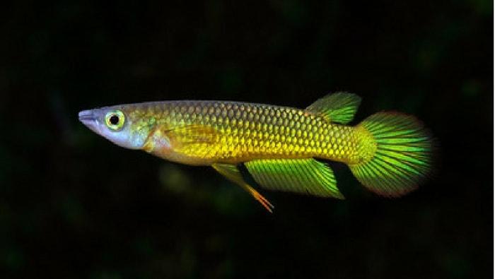 Aplocheilus Panchax killifish
