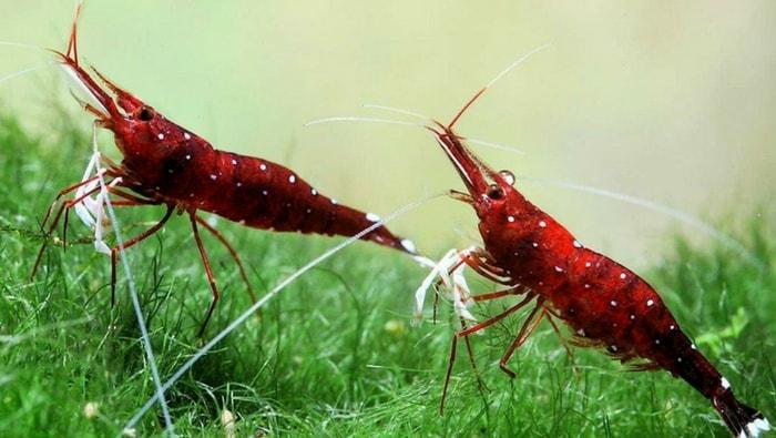 Caridina sp Cardinal riproduzione