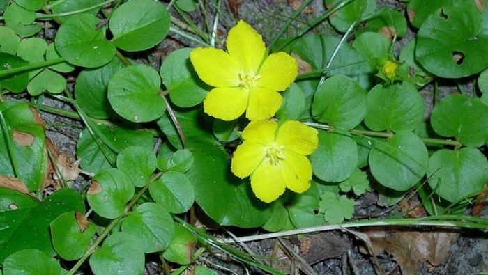 Lysimachia nummularia - in giardino