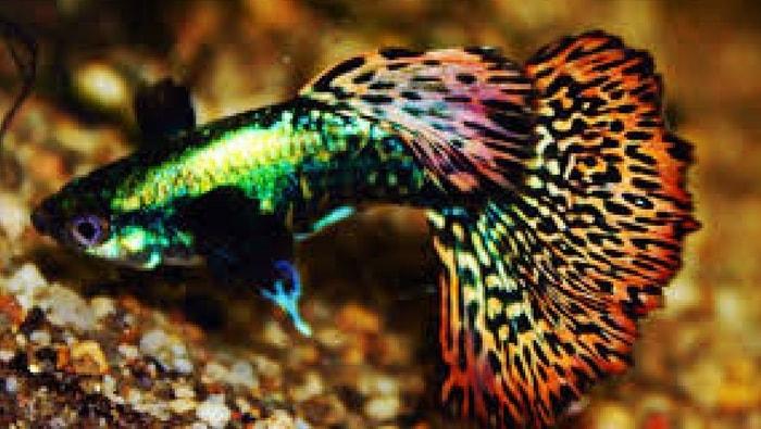 Mosaic multicolor guppy