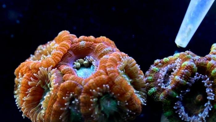 alimentare i coralli