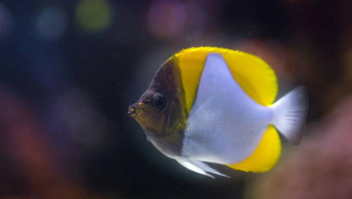 Hemitaurichthys polylepis - pesce farfalla piramide