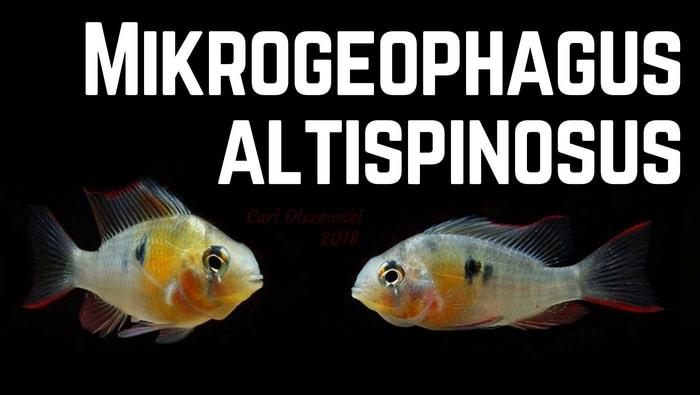 Mikrogeophagus altispinosus coppia