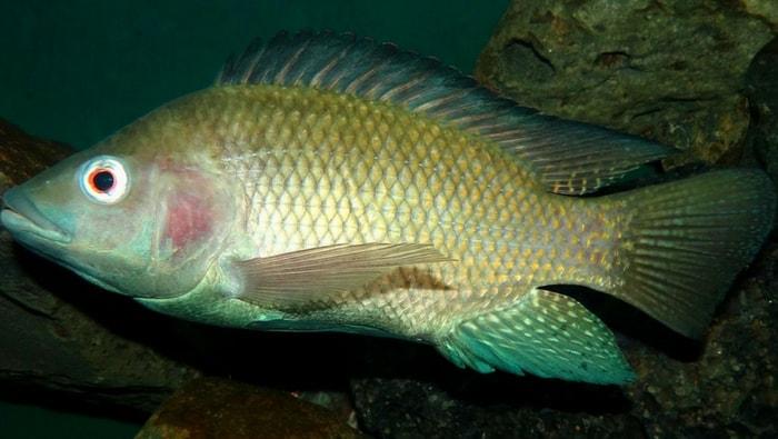 Perca Nilotica - Persico Del Nilo
