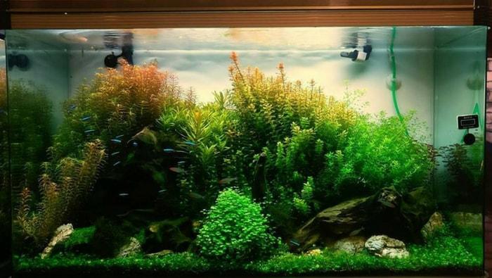 coltivazione delle piante in acquario