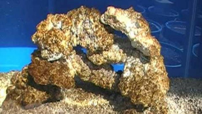 diatomee in acquario marino