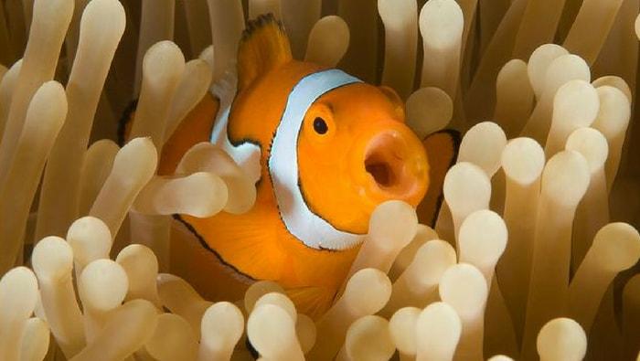 Pesce Pagliaccio E Anemone.La Relazione Simbiotica Tra Pesce Pagliaccio E Anemone