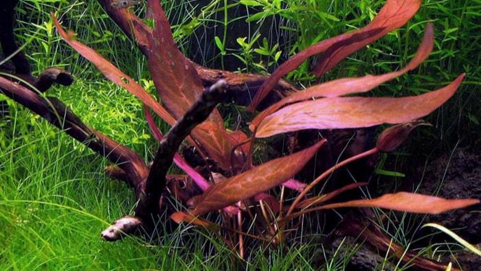 Barclaya Longifolia rossa