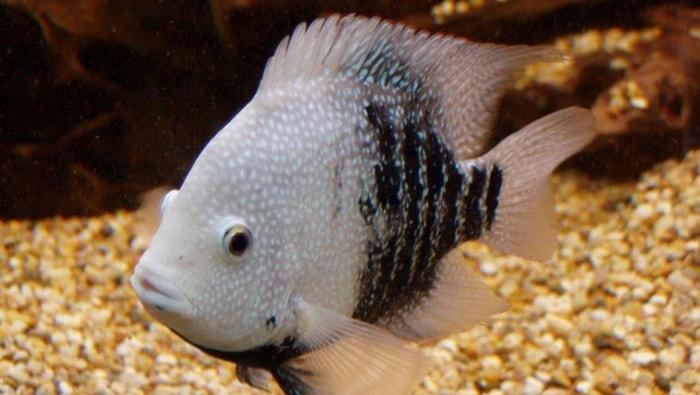 Herichthys cyanoguttatus
