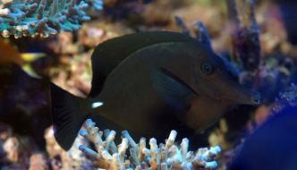 Zebrasoma rostratum: un pesce chirurgo raro e poco esigente