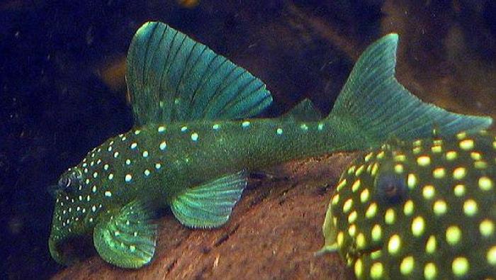 pesci da fondo