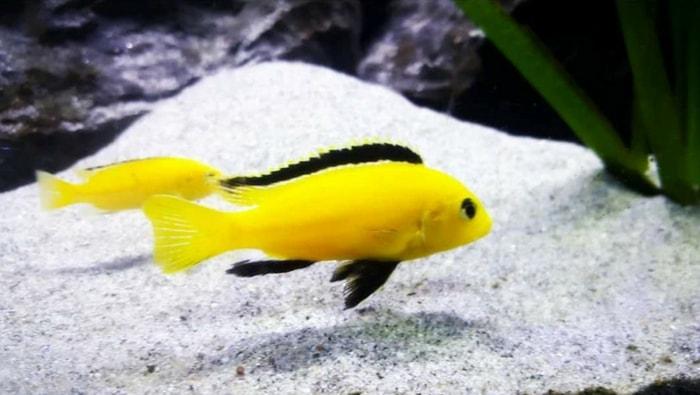 substrato Labidochromis caeruleuso Lion's cove