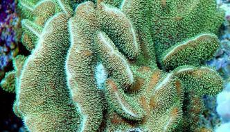 Pavona spp.: un corallo SPS bello, resistente e adatto a tutti
