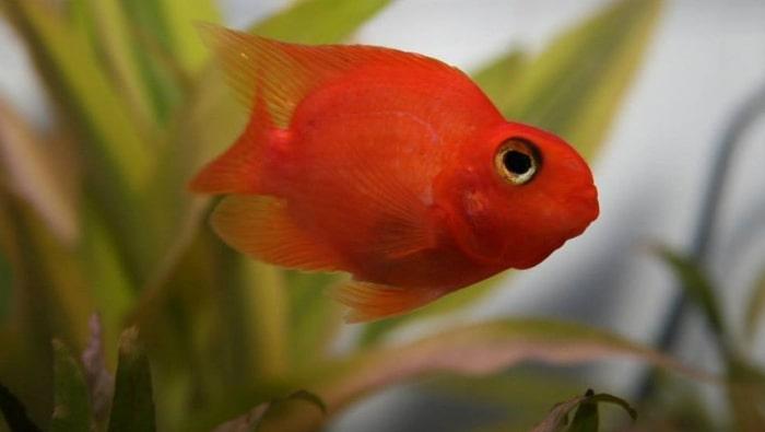 Cichlasoma red parrot in acquario