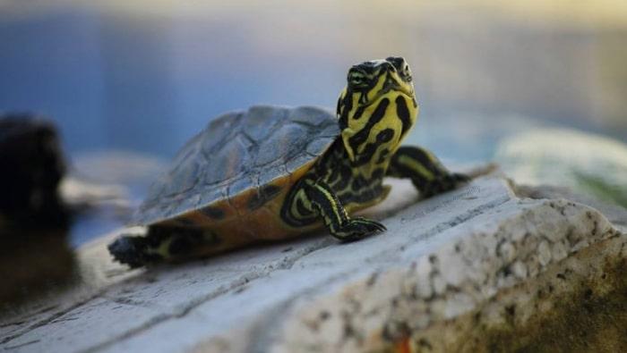tartarughe di acqua dolce