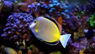 Acanthurus japonicus: un pesce chirurgo molto delicato