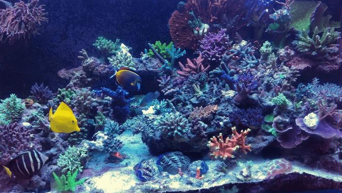 Acquario marino con Acropore australiane