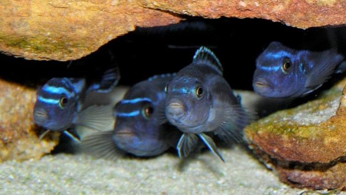 Melanochromis cyaneorhabdos in grotte e nfratti