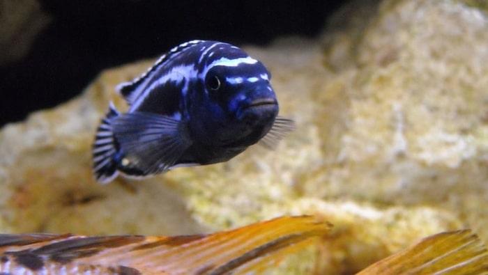 ciclide Melanochromis cyaneorhabdos