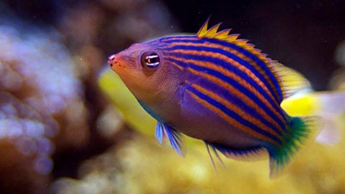 Pseudocheilinus hexataenia in acquario