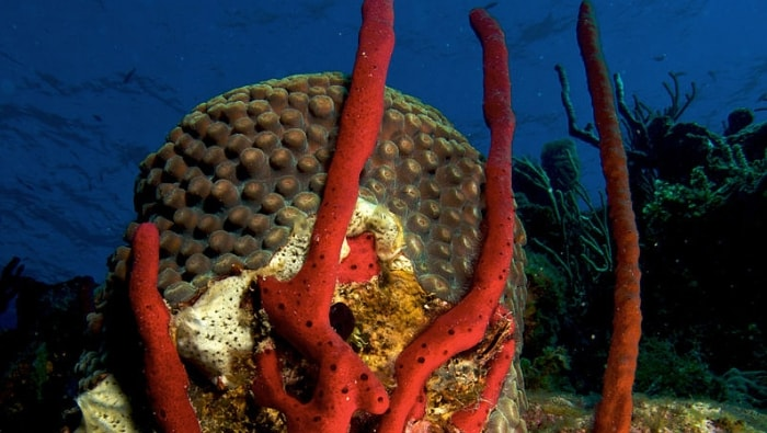 Amphimedon_compressa_(Erect_Rope_Sponge-_red).jpg