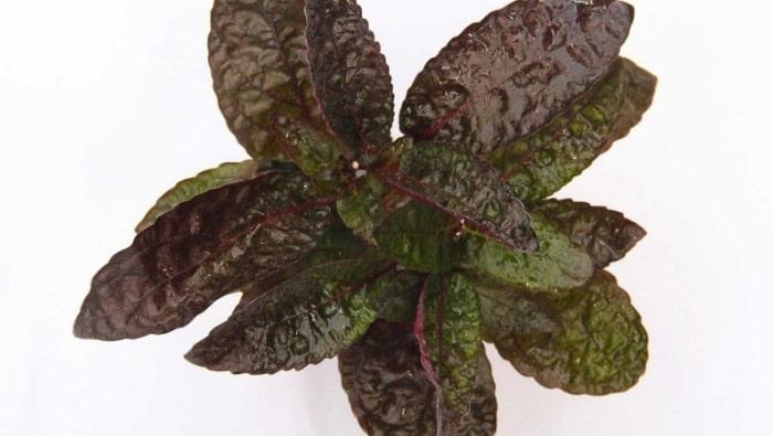 Hemigraphis colorata pianta
